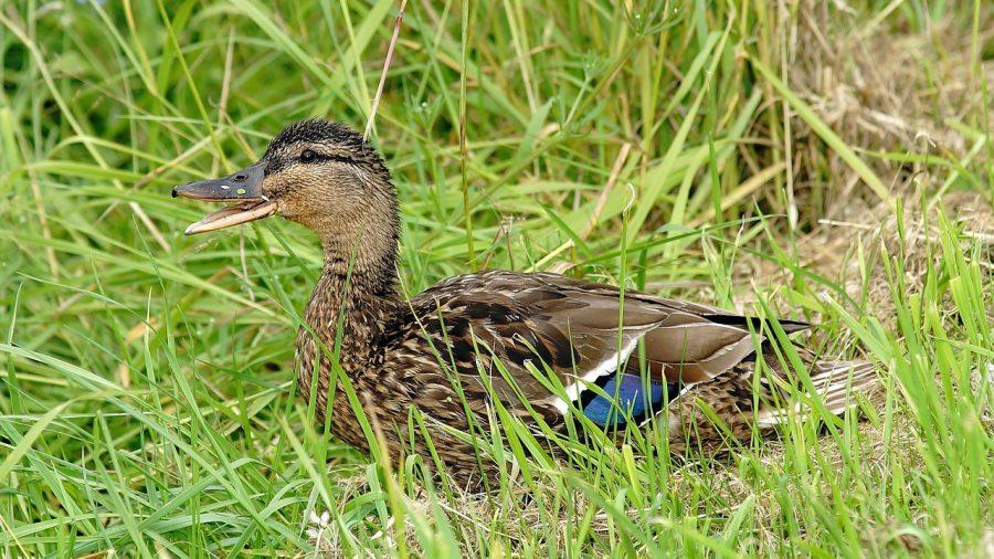 quack wildlife